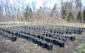 Some of the trees were removed from the ground and placed in large pots. Eventually, they will all be planted in the woodland, or used around the farm for various groves and allees.