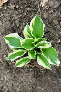 Unlike many perennials, which must be lifted and divided every few years, hostas are happy to grow in place without much interference.