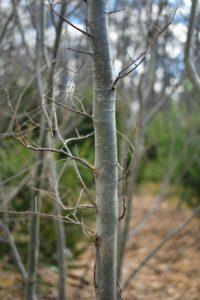 The bark of Zelkova has an attractive steel-gray color that exfoliates to expose orange shading beneath.