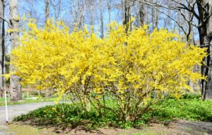 There is a lot of forsythia blooming this time of year. They are among the first plants of spring to burst forth in the garden. These specimens like at least six hours of sunlight a day, and well-draining soil. Yellow blossoms cover each elegant branch, producing arches of color that can be seen from a distance.