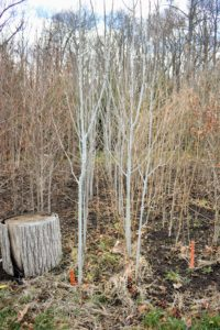 I love these white-bark colored quaking aspens, Populus tremuloides. The quaking aspen is a deciduous tree native to cooler areas of North America. It is also commonly called trembling aspen, American aspen, mountain or golden aspen, trembling poplar, or white poplar.