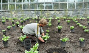 Gavin plants each hosta carefully under the twine. In a formal garden, foliage plants are put into beds and rows, with mirror image planting - each side of a formal garden is an exact mirror copy of the other side - proper placement is crucial.