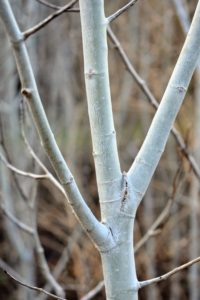 Quaking aspen is a tall, fast growing tree with a trunk that can grow up to 30-inches in diameter. The bark is relatively smooth, greenish-white to gray in color, and marked by black horizontal scars and prominent knots.