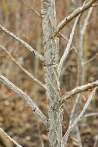 Another interesting type of tree bark is that of the American sweetgum, Liquidambar styraciflua, with its light brown color, dark streaks, and scaly ridges.