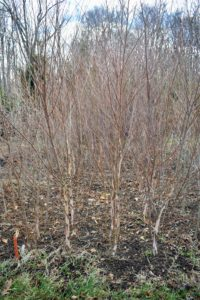 These trees are JLPN's special select river birch trees, Betula Nigra. These trees grow quickly up to a height of 40 to 60-feet and have a stunning fall yellow color.