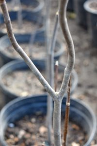 Yellowwood trees also have smooth light gray bark. These are all such healthy and attractive specimens.