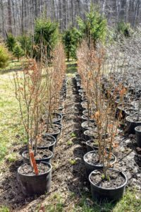 These are upright ironwood trees, Parrotia Persica 'Persian Spire', discovered by John Lewis of JLPN in 2013. It has finer foliage with a narrower leaf than the common ironwood.