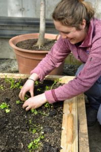Here's Zoe planting the remainder of the parsley crop.