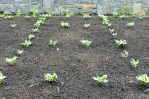 Once an area is planted, the soil is raked neatly within each square.
