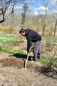 The gooseberries are now ready to be planted, Ryan starts by digging a series of holes along the length of the bed.