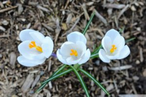 Crocus is among the first flowers to appear in spring, usually in shades of white, yellow and purple.