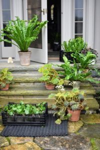 Outside my Winter House, more tropical houseplants wait to be brought in to decorate various tables. I keep all my houseplants in the main greenhouse so they can be cared for properly, but I love bringing them indoors for special occasions – they add life to any room.
