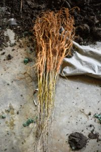 Healthy bare-root cuttings should not have any mold or mildew on the plants or on their packaging. The branches should be mostly unbroken, and roots, rhizomes, and other parts should feel heavy – not light and dried out. These bare-root cuttings are Osage orange trees.