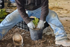 Next, Phurba moves onto some spruce seedlings. Phurba keeps the cutting centered in the pot as he fills it with soil.
