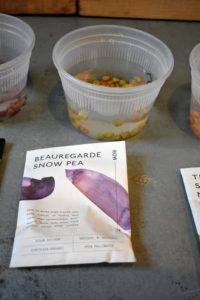 Row 7 Seed Company's 'Beauregarde' Snow Pea is bred to bring more flavor, and more purple color. These high-anthocyanin, wavy-podded snow peas hold their vibrant color when cooked. Wait for small peas to develop in the pod to reach full flavor potential.