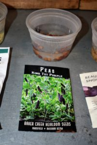 These are from Baker Creek Heirloom Seeds in Mansfield, Missouri. The fuschia purple flowers give way to tasty, fat purple pods on strong and vigorous plants that love cooler weather. This variety makes a delicious soup pea, or picked young as a purple snow pea.