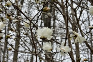 Magnolia is a large genus of about 210 flowering plant species in the subfamily Magnolioideae. It is named after French botanist Pierre Magnol. Growing as large shrubs or trees, they produce showy, fragrant flowers that are white, pink, red, purple or yellow.