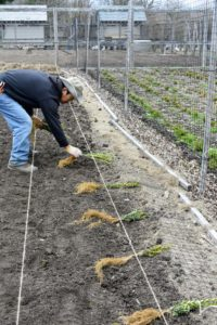 Before planting, Dawa secures twine at the fence line, so everything can be planted perfectly straight. Once the twine is secure, several boxwood seedlings are placed evenly along the length of the twined row.