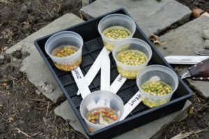 The next day, Ryan brings all the soaked peas down to the vegetable garden to plant and makes appropriate markers for easy identification through the season.
