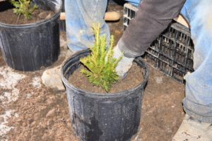 Next, he carefully works the soil in and around the roots and lightly tamps the soil to establish good contact.