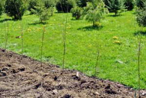 When first planted, these specimens were quite small with very thin trunks.
