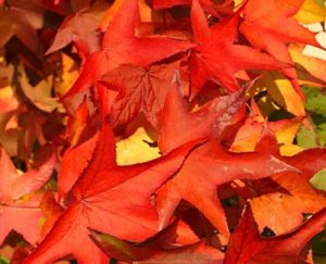 The American sweetgum is recognizable by the combination of its five-pointed star-shaped leaves and its hard, spiked fruits. (Photo courtesy of JLPN)