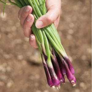 And 'Deep Purple' is excellent for salads and cooking and retains color in high or low temperatures. (Photo from Johnny's Selected Seeds)