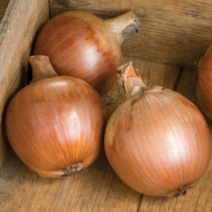 'Pontiac' has very large size potential and strong, bronze-colored skins that protect the bulb well in storage. (Photo from Johnny's Selected Seeds)