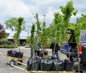 I purchased a total of 18 fruit trees. Here they are being wheeled out and loaded onto our truck.