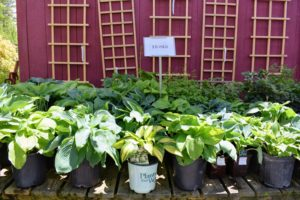 And here's a table filled with shade-tolerant hostas. I have many hostas growing at the farm - they're so beautiful with their large green leaves.