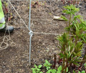 Once all the stakes are in place, the crew laces twine through the middle stake eyes in a zigzag pattern all the way down the row. Herbaceous peonies need an area with fertile, well-drained soil and full sun.