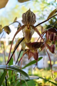 "I call this Lady's slipper orchid ""Jude's orchid"" after my granddaughter - the long, hanging petals remind me of Jude's pigtails."