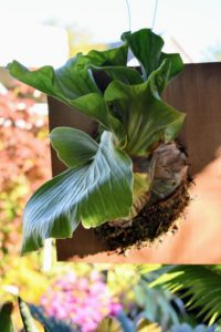 Glendale Botanicals also carried some gorgeous Staghorn ferns, Platycerium. I purchased two of them.