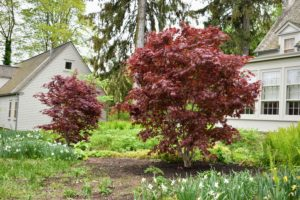 The best location for Japanese maples is a sunny spot with afternoon shade. Red and variegated leaves need relief from the hot afternoon sun but need the light to attain full color. This area is perfect.