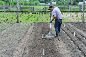 Phurba goes over the beds with a soft rake to ensure every potato is well covered and the area looks neat and tidy.