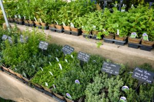 Green Bee Greenhouse is a small family-owned nursery located in Cornwallville, New York that focuses on growing vegetable starts, perennials, and shrubs including small fruits. http://www.greenebeegreenhouse.com/
