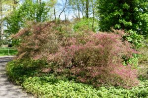 Two weeks ago, these azaleas were just beginning to flower. Here you can see a tinge of pink from the developing buds.