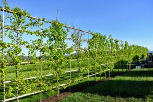 In the back of one of the fields is this giant trellis planted with hornbeams.