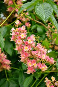 The blossoms appear on erect, eight-inch-long panicles at each branch tip – they're very attractive and very accessible to bees and hummingbirds.