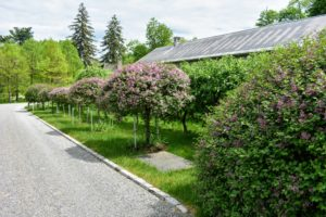 "Behind my long carport not far from my Winter House are the apple espaliers and the blooming ""Miss Kim"" Korean lilac standards. The upright, compact lilac blooms later than others extending the season with pink and lavender flower clusters."
