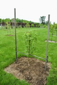 "The new trees were planted the very next day. Among them, this peach ""White Lady"", which produces delicious white-fleshed freestones with low acid and a full, rich flavor."