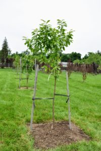 Sweet cherry 'White Gold' is a sweet cross with great looks and taste. This heavy-cropping tree is the offspring of 'Emperor Francis' and 'Stella' cherry parents. It bears gorgeous yellow-blushed-red sweet cherries that mature in mid-cherry-season.
