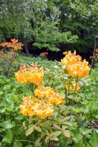These yellow azaleas, or honeysuckle azaleas, are only a couple feet tall, but they will grow and continue to flower beautifully.