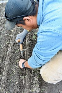 When planting, grasp the plant with the root end down and push it into the soil. The plant should be dropped about one-inch deep. Onions will grow quite large if planted properly and given enough space.
