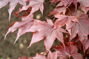Red-leafed cultivars are the most popular of the Japanese maples. Japanese maple leaves range from about an inch-and-a-half to four-inches long and wide with five, seven, or nine acutely pointed lobes. These trees will look more and more vibrant as they grow.