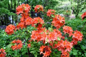 From a distance, these azaleas already add such gorgeous color to the landscape.