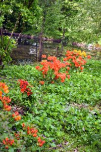 At my pond located in one corner of a hay field, I decided to grow another garden of azaleas. My goal is to fill this area with shades of yellow and orange.