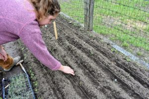 Here, Zoe has separated the leek seedlings and is placing them in the trench where they will be planted.