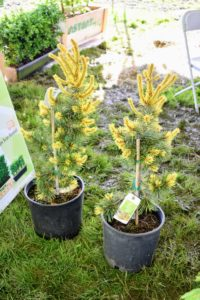 I selected these two Pinus contorta var. latifolia 'Taylor's Sunburst' - a narrow, upright tree form of Lodgepole pine with short, open branching and medium-length dark green needles. In spring, it shows off fresh growth in bright golden-yellow.