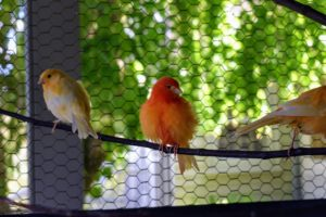 Red factor canaries were developed in the early 1900s by crossing a Venezuelan Black-Hooded Red Siskin with a yellow canary. In order to maintain their rich red plumage, red factors must be fed foods rich in beta-carotene, or a supplement of half pure beta-carotene and half pure canthaxanthin.